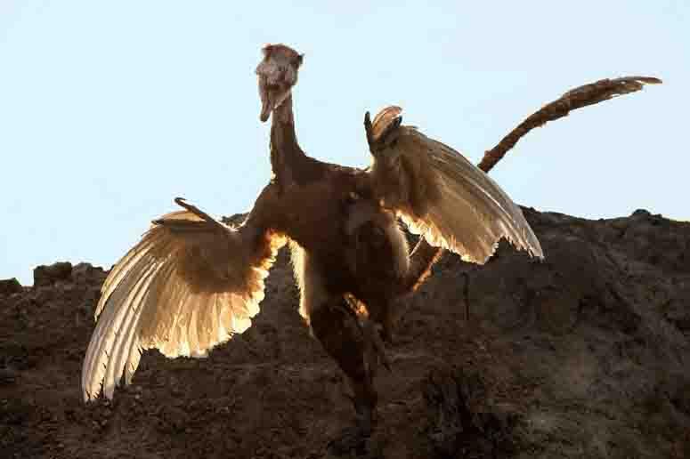 """""""Dinosaurier - Die Urzeit lebt!"""" Heißt die neue Ausstellung im LWL-Museum für Naturkunde, die die neuesten wissenschaftlichen Erkenntnisse zu den befiederten Dinosauriern zeigt. Foto: LWL/Oblonczyk"""