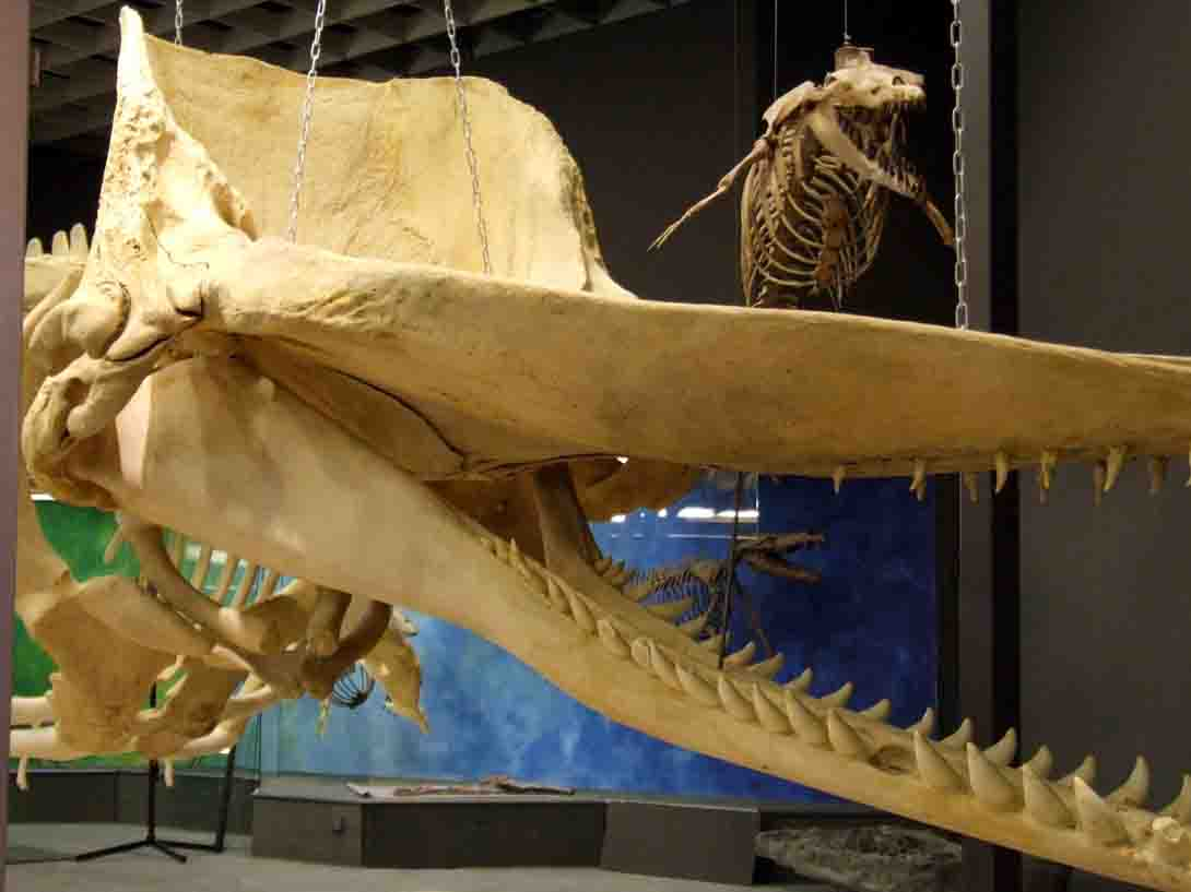 """Ein Riese unter Riesen - auch der Pottwal ist als Rückkehrer ins Meer und als Gigant der Erde in der neuen Ausstellung """"Dinosaurier - Die Urzeit lebt!"""" zu sehen. Foto: LWL/Fialla"""