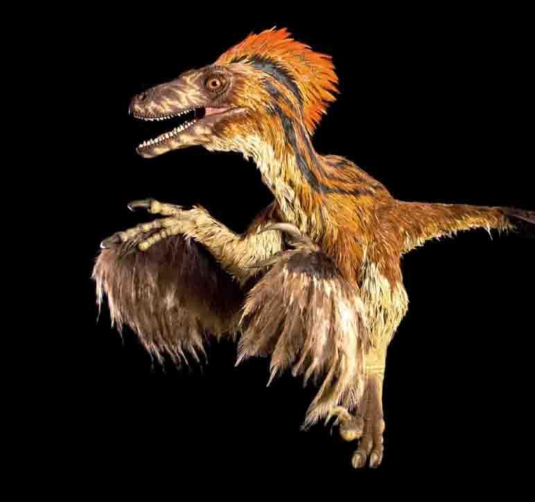 Höhepunkt der Dinosaurierausstellung - der befiederte Räuber, Deinonychus. Er ist in Deutschland nur im LWL-Museum für Naturkunde zu sehen. Daneben existiert nur ein weiteres Exemplar in Europa, das sich im Naturhistorischen Museum Wien befindet. Foto: NHM Wien/AliceSchumacher