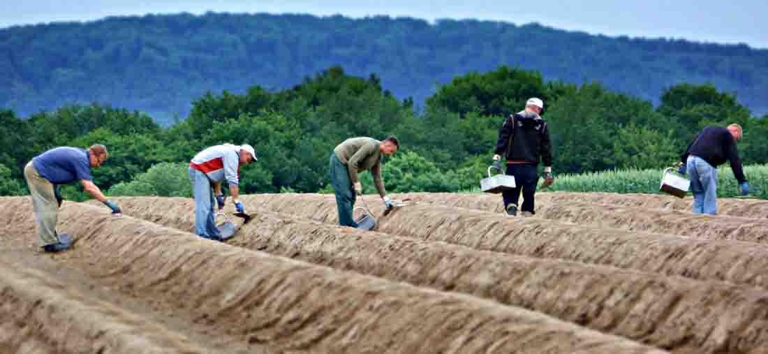 Erntehelfer aus Polen - hier beim Spargelstechen in der Region Lippe - gehören zu den Tausenden von Saisonarbeitskräften, die jeden Sommer vor allem aus Ost- und Mitteleuropa nach Deutschland kommen. Foto: LWL/Holtappels